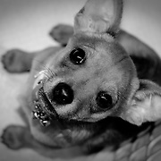 Small puppies always seem to be very cute.  This one is no exception.  Known as a Chiweenie, he is a  Chihuahua Dachshund mix who's ears cannot decide if they should be pointed up like a chihuhua or down like a Dachshund Mix.   He always want to be playing.