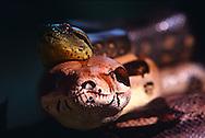 DEU, Deutschland: Schlangen, junge Anakonda (Eunectes murinus) liegt auf einer Kaiserboa (Boa constrictor imperator), beide Arten teilen sich den gleichen Lebensraum, den Regenwald | DEU, Germany: Snakes, young Anaconda (Eunectes murinus) resting on a big Boa (Boa constrictor imperator), both species sharing the same habitat, the rainforest |