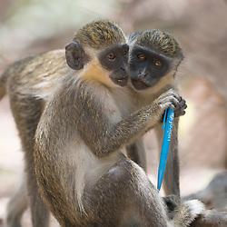 vervet aap; groene meerkat; Chlorocebus pygerythrus; South African Vervet Monkey