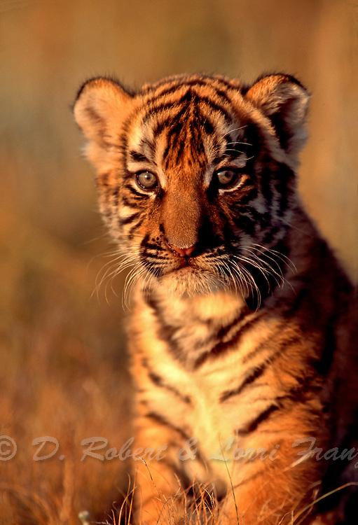 Bengal tiger cub (c/c)