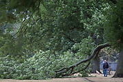 A passer-by inspects the damage to a large branch of a 100 year-old ash tree in full leaf has detached and fallen during strong overnight winds, following the UK heatwave which ended over the weekend, on 29th July 2018, in London, England.