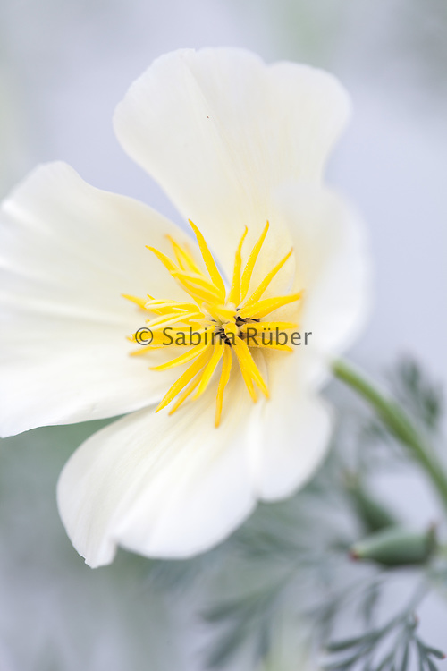 Eschscholzia californica 'Alba' - California poppy