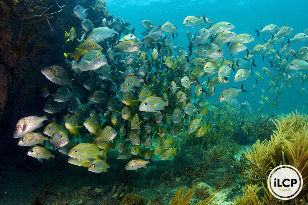 A healthy coral reef ecosystem includes large dense schools schools of fish such as grunts and snapper.  Puerto Morelos Reef National Park, Mexico