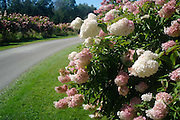 hydrangeas in full bloom line roadway