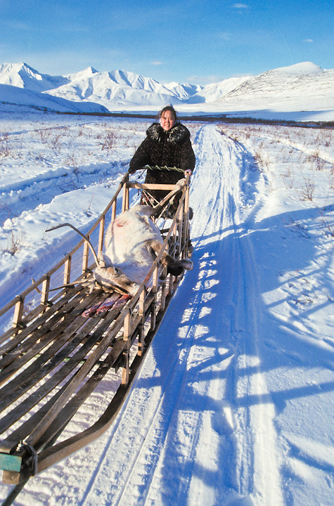 Young Inupiat girl with caribou in a traditional sled near the village of Anaktuvuk Pass, Alaska