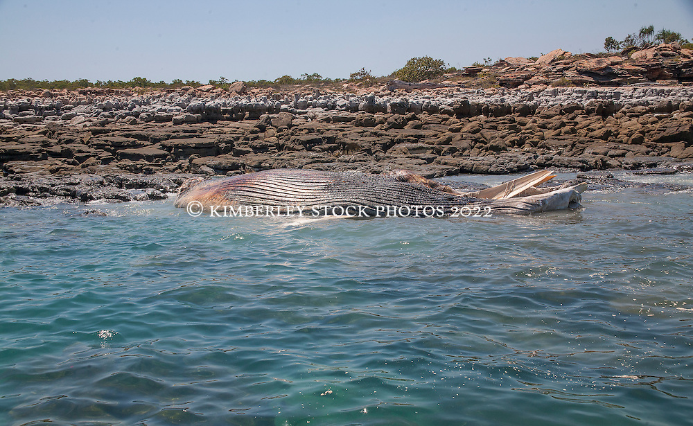 A whale carcass lies off the rocks to the south of Hall Point in Camden Sound.