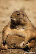 Black-tailed Dog<br /> Adams County, Colorado<br /> <br /> This prairie dog, ready for his long winter sleep, has not a worry in the world.<br /> <br /> Edition of 500