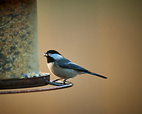 Black-capped Chickadee. Image taken with a Nikon D5 camera and 600 mm f/4 lens (ISO 1600, 600 mm, f/4, 1/320 sec)