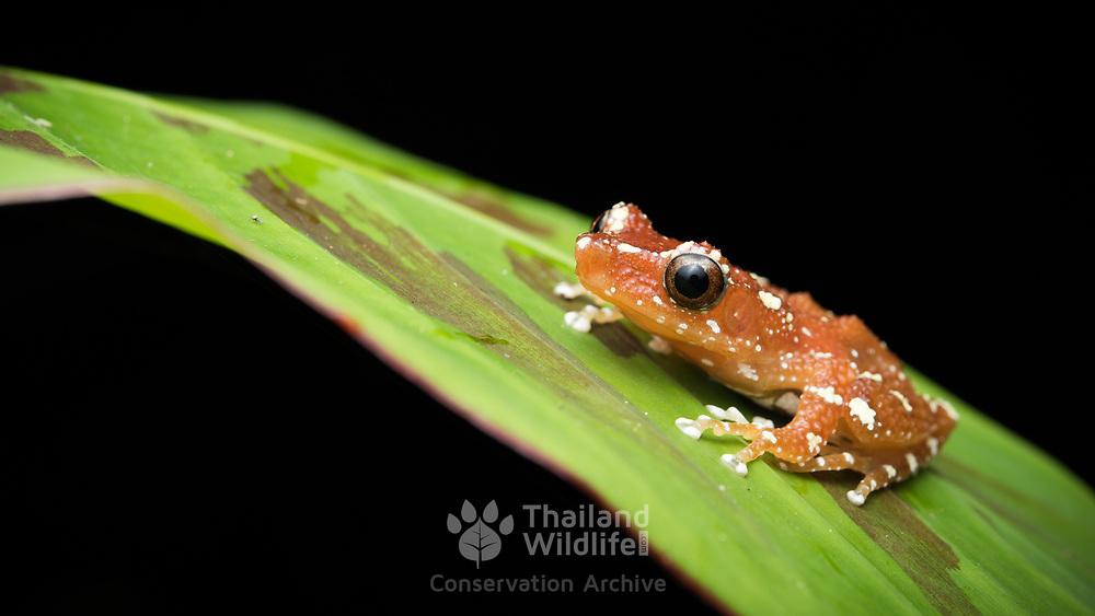 Cinnamon tree frog (Nyctixalus pictus) in Lam Nam Kra Buri national marine park, Thailand
