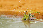 Female painted bunting bathing