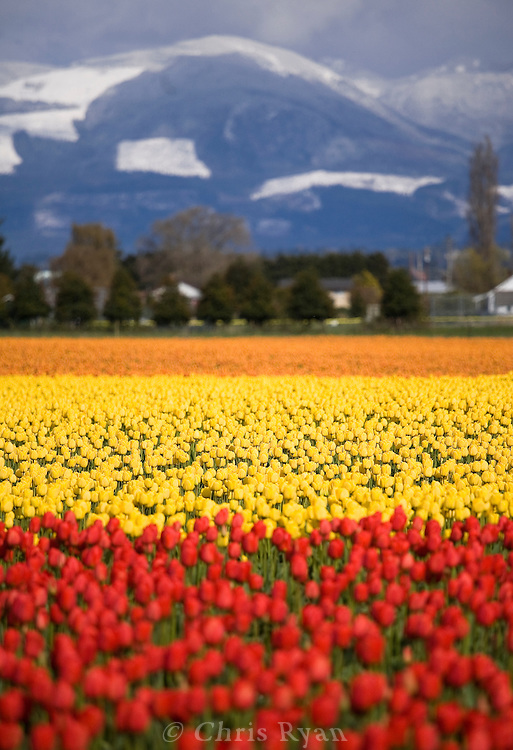 Snow and tulip fields in spring, Washington state