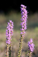 Gay Feather, (Liatris elegans) Gillespie County, Texas