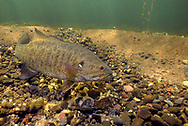 Smallmouth Bass (male guarding nest of eggs)<br />