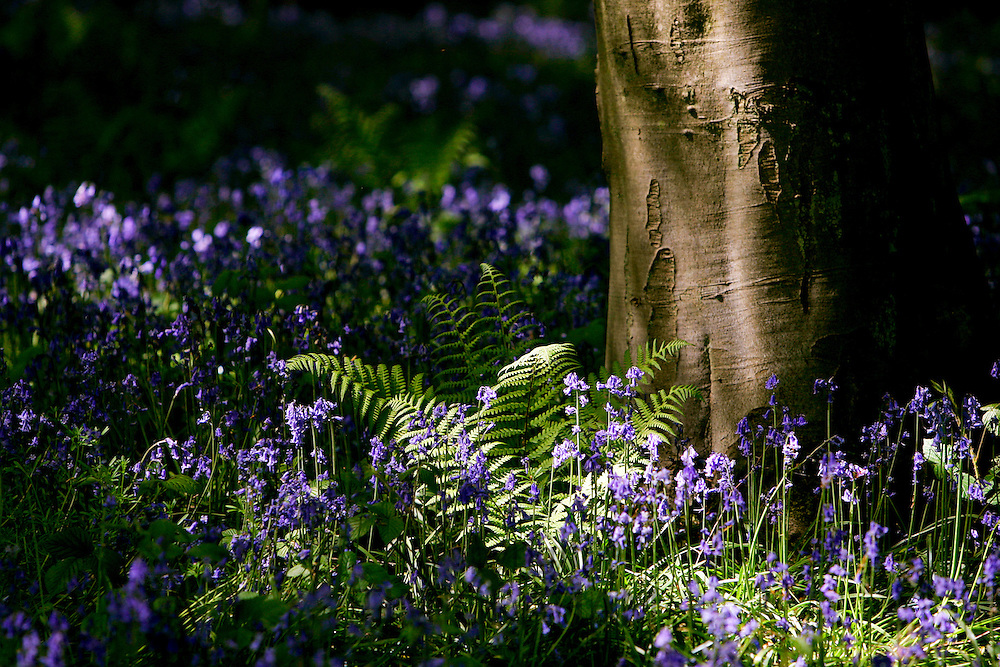 Bluebells and ferns in woodland, England