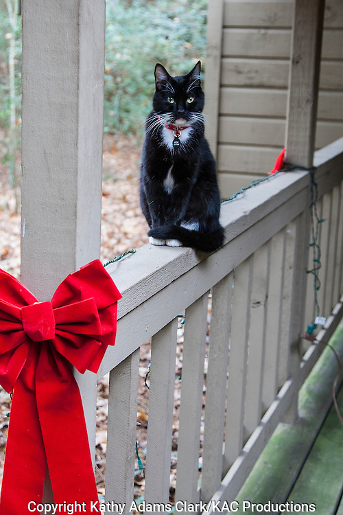 Tuxedo cat, Domestic cat, Felis catus, sitting on porch rail near Christmas decorations, in backyard in The Woodlands, Texas in winter.