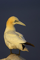 Gannet (Morus bassanus) portrait, Saltee Islands, Ireland