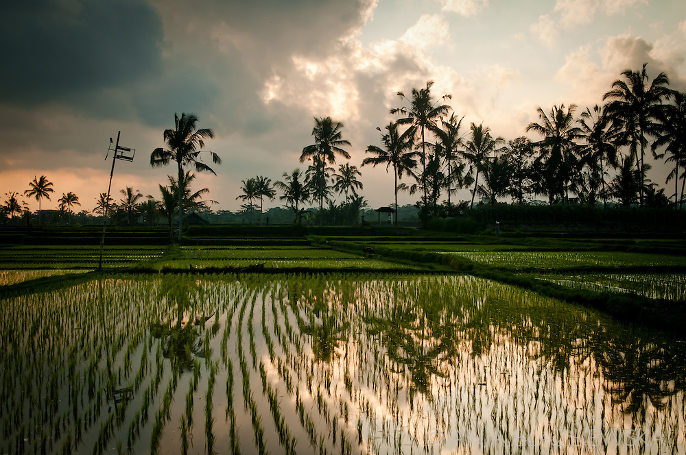 Indonesia, Bali. Rice paddies near Ubud at sunset and with palms beautifully reflected in the water.