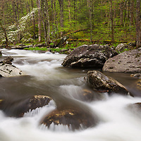 Dogwood tree blooms along the Little River in Tremont District of Great Smoky Mountain NP