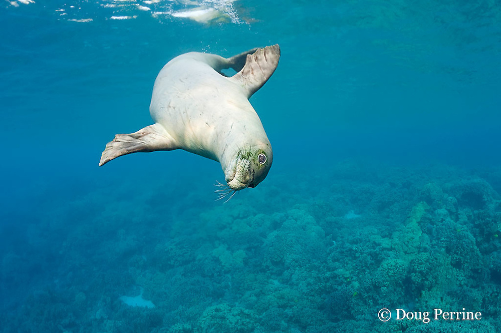 Hawaiian monk seal, Monachus schauinslandi, 2.5 year old male, Critically Endangered endemic species, Kealekekua Bay, Kona, Hawaii Island ( the Big Island ) Hawaiian Islands ( Central Pacific Ocean )