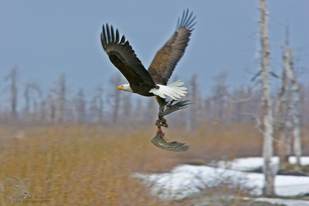 A Bald Eagle carry's off the wings of a Raven on the Copper River Delta in South-Central Alaska.
