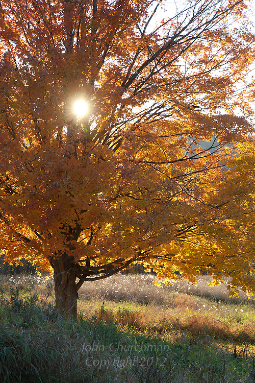 Fall Maple tree with sunset shining thru