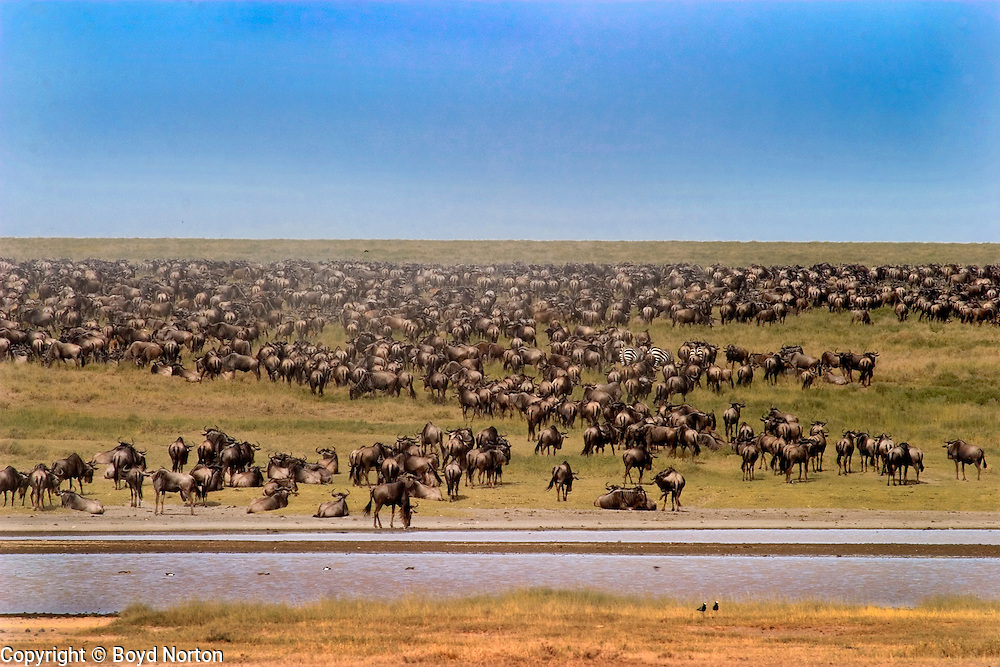The migration; 1.5 million wildebeest, half a milion zebras make the annual migration each year in search of food and water.  Serengeti National Park, Tanzania.
