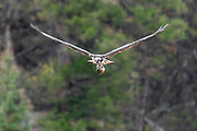Osprey with a catch in flight. Gallery: Yellowstone.