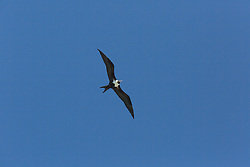 A Lesser Frigatebird (Fregata ariel) flies over Adele Island off the Kimberley coast.