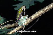 01162-019.16 Ruby-throated Hummingbird (Archilochus colubris)  female feeding nestlings, Marion Co.   IL