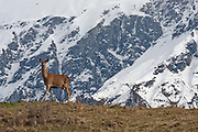 Red Deer, New Zealand