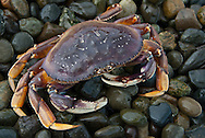 The Dungeness crab, Metacarcinus magister (the naming convention recognized by WoRMS) or Cancer magister, is a species of crab that inhabits eelgrass beds and water bottoms on the west coast of North America. It typically grows to 7.9 in across the carapace and is a popular seafood prized for its sweet and tender flesh. Its common name comes from the port of Dungeness, Washington.