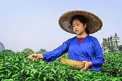 Girl is picking tea leaves.