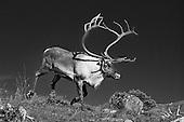 Reindeers - Rein - B&W