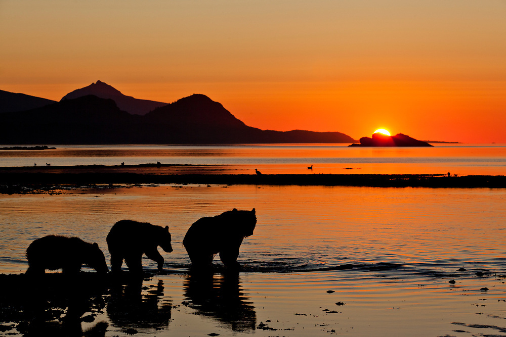 USA, Alaska, Katmai National Park, Silhouette of Grizzly Bear Sow and Cubs (Ursus arctos) along Kukak Bay before sunrise on late summer morning