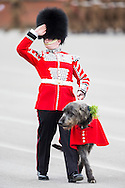 Domhnall, the Irish Wolfhound mascot of the Irish Guards parades past the Duke and Duchess of  Cambridge during the regiment's annual St Patrick's Day Parade at Mons Barracks, Aldershot, Hampshire. The Duke of Cambridge looks on (left).<br /> Picture date Monday 17th March, 2014.<br /> Picture by Christopher Ison. Contact +447544 044177 chrisison@mac.com