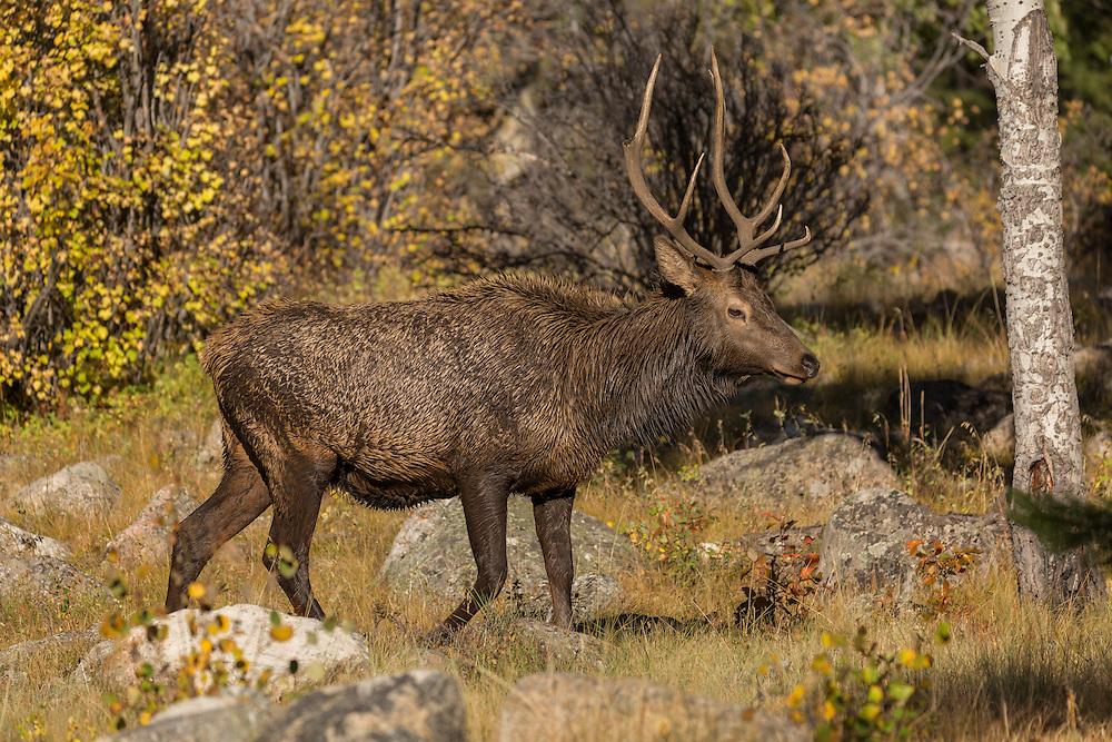 Male elk, or wapiti (Cervus canadensis), Rocky Mountain National Park, Colorado, USA