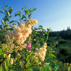Granby, VT.Meadowsweet blooms in this bog in the boreal forest on land currently owned by Hancock Timber.  Northern Forest.  Spiraea latifolia.