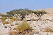 Israel, Arava, the Umbrella Thorn Acacia, (Acacia tortilis)