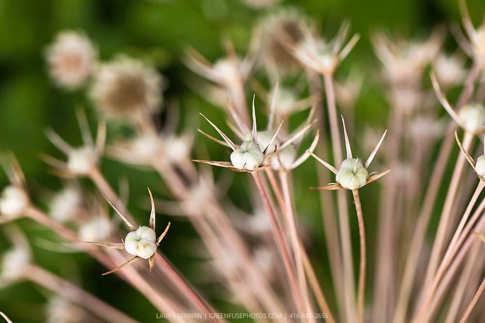 The seed pods of Star of Persia allium (Allium christophii)