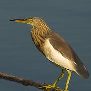 Chinese Pond Heron, Ardeola bacchusin Phetchaburi, Thailand