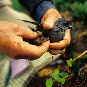 """August, 2001 - New Brunswick, Canada : Charles """"Chuck"""" Huntington holds a Leach's Storm Petrel (Oceanodroma Leucorhoa) in his hands. Huntington has been studying the birds for 55 years (as of Aug, 2009). His study is notable as one of the two longest scientific studies by any individual researcher. The petrel is a small bird, which nests on remote islands in the north Atlantic and Pacific. The birds nest in boroughs underground, between rocks or in logs. They cover large distances at night to feed and return to roost while it is still dark, in order to avoid predators. CREDIT: Karsten Moran / Redux"""