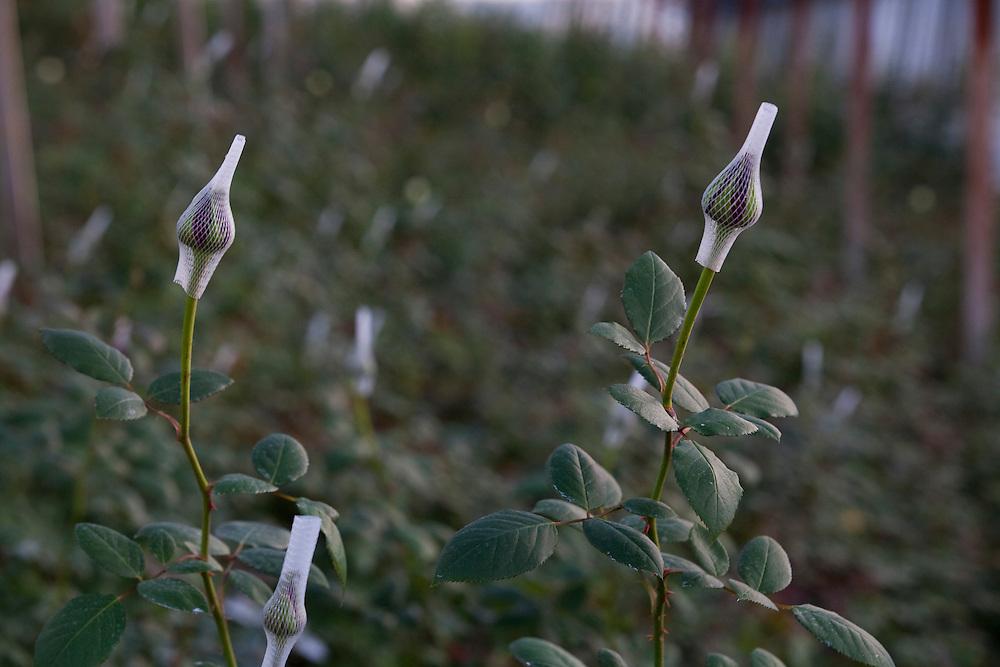 Barbacena_MG, Brasil...Plantacao de rosas em Barbacena, Minas Gerais...The roses cultivation in Barbacena, Minas Gerais...FOTO: LEO DRUMOND / NITRO