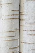 Birch Bark #3, 2004