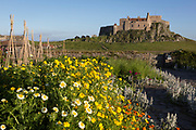 Chrsanthemum coromarium flowers in the National Trust's Gertrude Jekyll walled garden and Lindisfarne Castle on Holy Island, on 27th June 2019, on Lindisfarne Island, Northumberland, England. The Holy Island of Lindisfarne, also known simply as Holy Island, is an island off the northeast coast of England. Holy Island has a recorded history from the 6th century AD; it was an important centre of Celtic and Anglo-saxon Christianity. After the Viking invasions and the Norman conquest of England, a priory was reestablished.