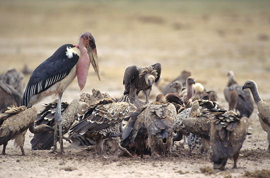 Marabou Stork, (Leptoptilos crumeniferus) Feeding on carcass of lion kill. Kenya. Africa.