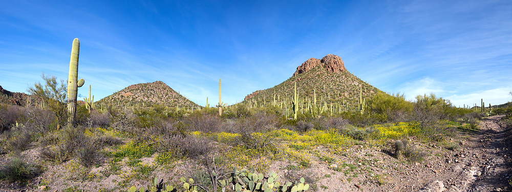 Saguaro National Park near Contzen Pass. Wildflowers in bloom