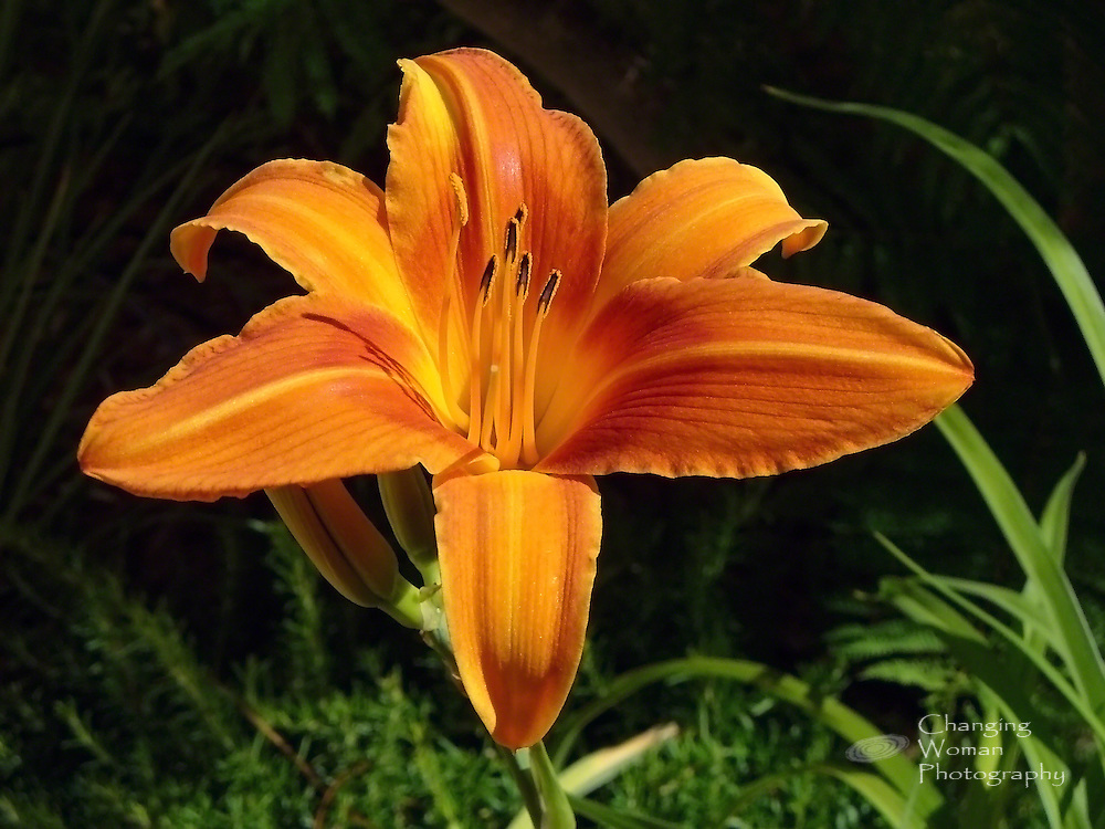 Close-up view of an orange day lily flower