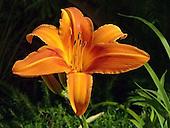 Day Lily / Hemerocallis