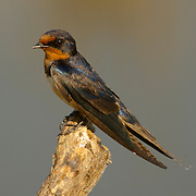 Pacific Swallow, Hirundo tahitica javanica at reat on a stump at Bung Boraphet, Thailand, 2007.