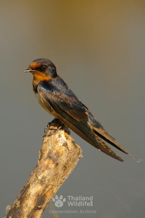 Pacific Swallow, Hirundo tahitica javanica at reat on a stump at Bung Boraphet, Thailand, 2007.